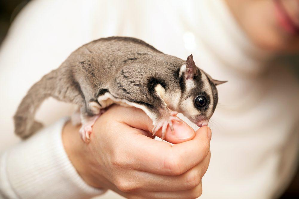 Sugar Glider Top 10 Most Unusual & Exotic Pets In The World   keshdigital.com