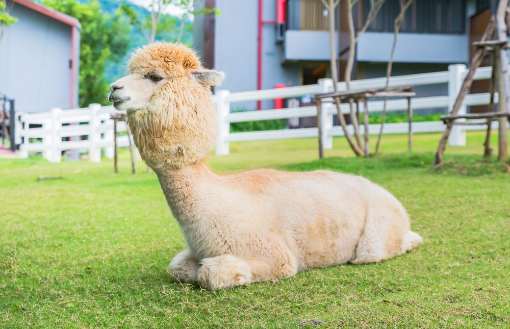 8) Green Iguana   Top 10 Most Unusual & Exotic Pets In The World   keshdigital.com