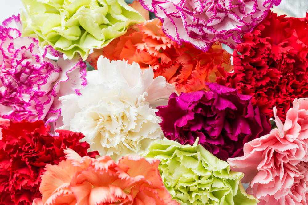 Carnations are the official flower of Mother's Day | Life 360 Tips
